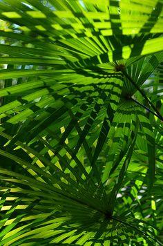 The Hawaii Tropical Botanical Garden#6 - Raphis humilis Fan Palm Foliage, by Farley Roland Endeman