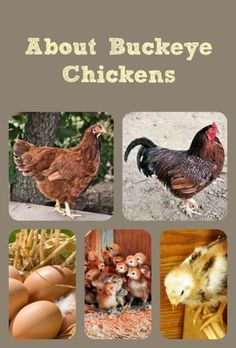 Buckeye chickens make outstanding homestead or backyard chickens - find out why!