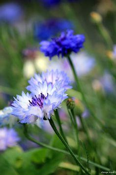 Cornflower - My mother always grew these in her flower garden, she called them Bachelor Buttons. Amazing Flowers, My Flower, Wild Flowers, Beautiful Flowers, Corn Flower, Green Flowers, Blue Garden, Dream Garden, Beautiful Gardens