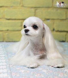 Korean Dog Grooming Style — Maltezer. I love this soo cute