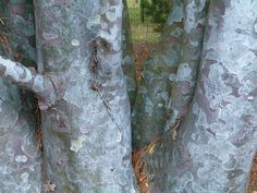 'Silver Ghost' lacebark pine (Pinus bungeana 'Silver Ghost') by godpasta, via Flickr