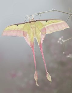 A Chinese variety of luna moth.  Luna's are born without mouths; they live off the fat stores they gained while in caterpillar form.  These Chinese Lunas only live about 10 days.