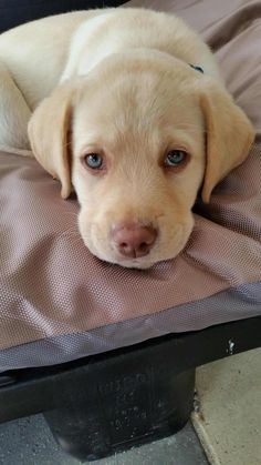 "See our internet site for additional info on ""labrador puppies"". It is an exceptional place to get more information. Yellow Lab Puppies, White Puppies, Dogs And Puppies, Cute Cats And Dogs, I Love Dogs, Dudley Labrador, Baby Animals, Cute Animals, Dog Pictures"