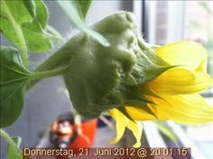 Hat ihre besten Tagen leider bereits hinter sich: die Webcam-Sonnenblume.