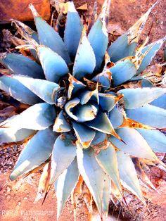 Blue Cactus.