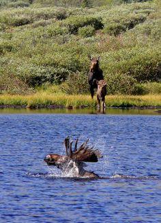 Moose Dip-go daddy go! Moose Deer, Moose Hunting, Moose Art, Animals And Pets, Cute Animals, Wild Animals, Caribou Maine, Alaska, Moose Pictures