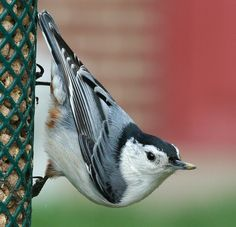 """White-breasted Nuthatches are common feeder bird with clean black, gray, and white markings. They are active, agile little birds with an appetite for insects and large, meaty seeds. They get their common name from their habit of jamming large nuts and acorns into tree bark, then whacking them with their sharp bill to """"hatch"""" out the seed from the inside. http://www.youtube.com/watch?v=3L-qF2bxsmw"""