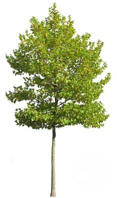 Platanus, plane tree cutout image Ready to use in photoshop