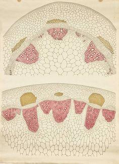 Frederic Elfving - Vegetal anatomy, 1929