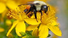 Bumblebee colonies at risk of extinction after pesticide exposure: study | CTV News