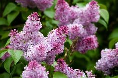 Common lilac bushes bloom in late spring and smell better than new cultivars. Here I offer growing tips for these shrubs (planting, care, etc. Lilac Tree, Purple Lilac, Purple Flowers, Flowering Shrubs, Trees And Shrubs, Patio Trees, Hyacinth Plant, Dwarf Lilac, Gardens