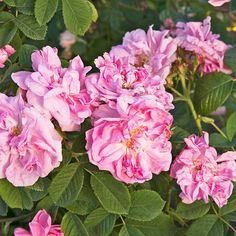 Autumn Damask        This old-fashioned, repeat-blooming rose has been grown since the 1500s -- and its combination of beautiful pink flowers and intense fragrance keeps it popular today. Sometimes sold as the Four Seasons rose, it is a favorite of the perfume industry.        Size: To 5 feet tall and wide        Zones: 5-9