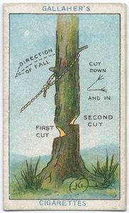 """Having decided which side you wish the tree to fall, cut alternatively a downward and inward cut as shown. When about half through, proceed to cut the other side a few inches higher, and finally pull tree down by means of ropes."""