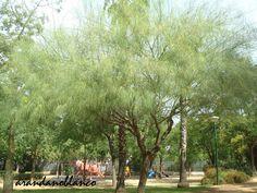 parquealamillo-encinarosa: Parkinsonia aculeata - Palo verde  -  Espino de Je...