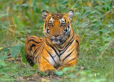 Tiger by Sandeep Dutta on 500px