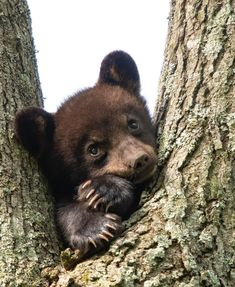 Cute Baby Animals, Animals And Pets, Funny Animals, Wild Animals Photography, Wildlife Photography, Black Bear Cub, Bear Cubs, Cute Creatures, Pet Puppy