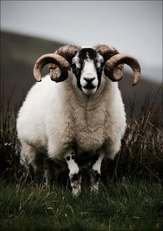 The ram | The North Realm