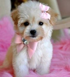 Teacup Maltipoo so cute Teacup Maltipoo, Teacup Puppies, Cute Puppies, Cute Dogs, Dogs And Puppies, Maltipoo Puppies, Doggies, Animals And Pets, Baby Animals
