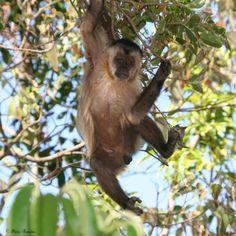 Série com o Macaco Prego (Cebus apella) - Series with the Capuchin monkey - 24-08-2008 - IMG_20080824_9999_154 | por Flávio Cruvinel Brandão