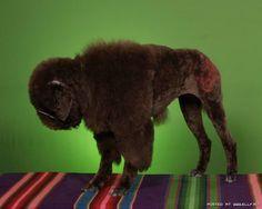 A dog groomed to be a buffalo of course. Oy!  - Enjoy, ActiveDogToys.com