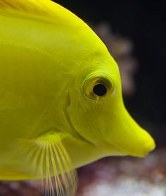 Yellow Tang Portrait by *peridot*, via Flickr