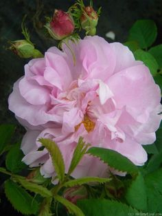 Rosa 'Celsiana', Damask rose, before 1732. My beautiful girl, so fragrant, too.