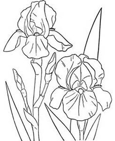 1000 images about line drawings of irises on pinterest for Iris flower coloring page