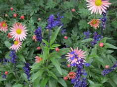 Love this color combo. Sheffield Pink mum and Salvia Victoria Blue Plants, Plant Combinations, Ornamental Grasses, Garden Mum, Flower Garden, Salvia, Flower Garden Design, Garden Design, Cottage Garden