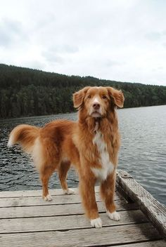 The Nova Scotia Duck Tolling Retriever, often called a Toller, is a medium-sized gundog from Canada. As can be guessed from its name, the Toller was bred primarily as a duck tolling and retrieving dog and has been used since the early 19th century. They are active and intelligent dogs that make great family companions.