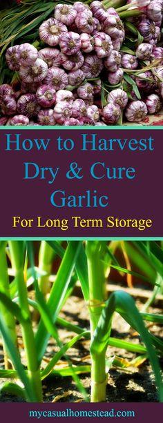 Harvest, dry and cure your garlic harvest for long-term storage. Free recipes for other preservation methods. Garlic powder, garlic salt and herbed garlic salt.