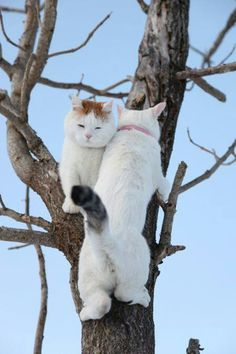 Good Grief Two Cats in a Tree? Good Grief Two Cats in a Tree? Cute Cats And Kittens, Baby Cats, I Love Cats, Cool Cats, Kittens Cutest, Baby Animals, Cute Animals, Beautiful Cats, Animals Beautiful