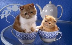 Two cute exotic shorthair kittens in blue and white cups Cute Kittens, Cats And Kittens, Flat Faced Cat, Baby Animals, Cute Animals, Scottish Fold Kittens, Persian Kittens, Exotic Shorthair, Owning A Cat