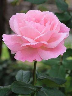 Beautiful Rose Flowers, Flowers Nature, Felt Flowers, Beautiful Gardens, Spring Blooms, Summer Flowers, Hot Pink Roses, Red Roses, Rosa Rose