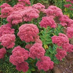 Sedum Herbstfreude/Autumn Joy Autumn Garden, Easy Garden, Summer Garden, Garden Ideas, Flowers Uk, Large Flowers, Autumn Flowering Plants, October Flowers, Sedum Plant