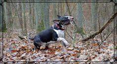 "Bull  Terrier Mawros / Imperium ""Z Rzymskich Legionów FCI "" 15 month old 32 kg"