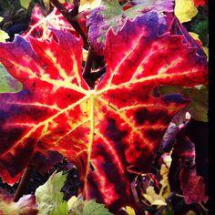 Autumn vine leaf
