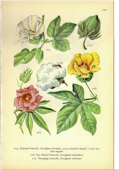 Danish Antique Botanical Print Cotton Plants On One Side of the Page or Jute & Ramie on the Reverse Side to Frame or for Paper Arts Growing Cotton, Paper Art Projects, Cotton Plant, Botanical Prints, Botany, Jute, Danish, Printed Cotton, Folk Art