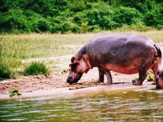 Hippo in Queen Elizabeth National Park Uganda