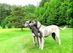 Galgo irlandés Irish wolfhound