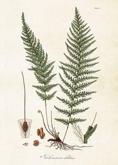 Eaton Antique Prints of Ferns botanical illustration. Botanical Drawings, Botanical Illustration, Botanical Prints, Illustration Art, Illustrations, Wall Groupings, Frames On Wall, Nature Artwork, Plant Art