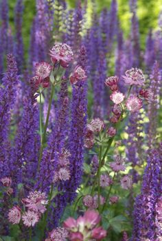 A Fabulous Duo to Try : Astrantia and Salvia - Astrantia carniolica 'Rubra' - Salvia nemorosa https://www.gardenia.net/garden/a-fabulous-duo-to-try-astrantia-and-salvia