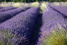 26 Irresistible Reasons To Grow Lavender In Your Garden.Used for centuries for medicinal and beauty purposes, and with a myriad of applications in the kitchen and home, lavender should be in every natural living enthusiast's garden. Growing Ginger Indoors, Growing Herbs, Growing Lavender, Lavender Oil, Lavender In Garden, Lavender Cottage, Green Garden, Mediterranean Plants, Container Gardening Vegetables