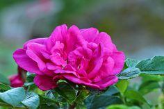 Rosa rugosa 'Moje Hammarberg' Flower Beds, Beautiful Roses, Garden, Flowers, Plants, Pink, Garten, Lawn And Garden, Gardens