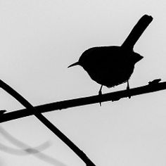 85/365 - 2013-03-26 - Wren Silhouette