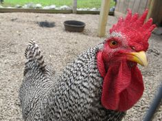 How to Raise Backyard Chickens, great info in the comments