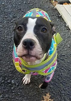 POTTSVILLE PA - COOKIE is a Pit Bull Terrier for adoption who needs a loving home.