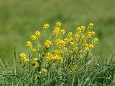 Edible Wild Plants: Winter Cress / Yellow Rocket (Barbarea Vulgaris)