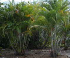 86 Best Palmeiras Images On Pinterest Palm Plants