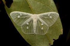 A rare transparent moth, the lymantrine moth from Yunnan, China