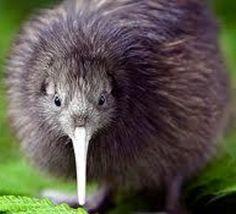 Le kiwi de Nouvelle-Zélande est peut-être originaire d'Australie